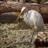 White heron. Adult with southern grass skink. Milford Sound, April 2013. Image © Albert Aanensen by Albert Aanensen