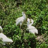 White heron. Breeding colony with adults and chicks. Waitangiroto River, South Westland. Image © Department of Conservation (image ref: 10050064) by Dave Murray, Department of Conservation Coutesy of Department of Conservation