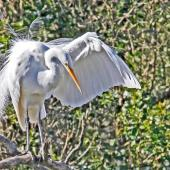 White heron. Adult coming into breeding plumage. Haumoana Lagoon, August 2011. Image © Dick Porter by Dick Porter