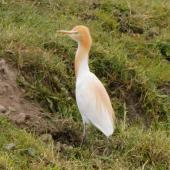 Cattle egret. Adult coming into breeding plumage. Lake Horowhenua, November 2010. Image © Duncan Watson by Duncan Watson