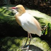 Cattle egret. Captive adult in breeding plumage. Taronga Zoo, Sydney, December 2012. Image © Duncan Watson by Duncan Watson