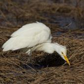 Cattle egret. Non-breeding adult hunting for prey. Weggery Drive lagoon, May 2015. Image © Roger Smith by Roger Smith