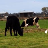 Cattle egret. Three birds with cattle. Canterbury, September 2012. Image © Peter Reese by Peter Reese