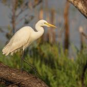 Plumed egret. Adult. Middle Point, Northern Territory. Image © Robert Toneguzzo 2018 birdlifephotography.org.au by Robert Toneguzzo