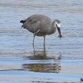 White-faced heron. Adult feeding on mud crab. Pauatahanui Inlet, April 2015. Image © Paul Le Roy by Paul Le Roy