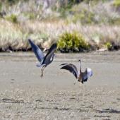 White-faced heron. Two adults in territorial dispute. Little Waihi, November 2011. Image © Raewyn Adams by Raewyn Adams