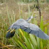 White-faced heron. Adult in flight showing back toe pointing upward. Shakespear Regional Park, January 2009. Image © Josie Galbraith by Josie Galbraith