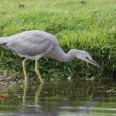 White-faced heron. Juvenile foraging. Anderson Park, Taradale, Napier, December 2014. Image © Adam Clarke by Adam Clarke