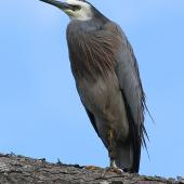 White-faced heron. Adult resting. Kai-iwi, Wanganui, March 2011. Image © Ormond Torr by Ormond Torr