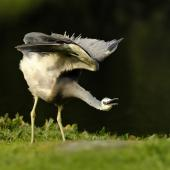 White-faced heron. Adult stretching wings. Mangere sewage ponds, Auckland. Image © Eugene Polkan by Eugene Polkan