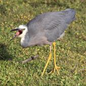 White-faced heron. Adult with a green blowfly. Lower Hutt, March 2016. Image © Robert Hanbury-Sparrow by Robert Hanbury-Sparrow