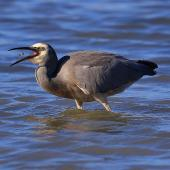 White-faced heron. Adult swallowing a crab. Pauatahanui Inlet, May 2016. Image © Imogen Warren by Imogen Warren