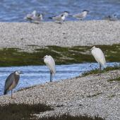 Little egret. Two adults roosting with a white-faced heron. Manukau Harbour, July 2013. Image © Bruce Buckman by Bruce Buckman /www.flickr.com/photos/brunonz/