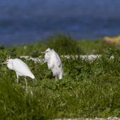 Little egret. Adults waiting for tide to recede for feeding. Manukau Harbour, July 2013. Image © Bruce Buckman by Bruce Buckman www.flickr.com/photos/brunonz/