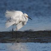 Little egret. Adult ruffling feathers during preening session. Ahuriri estuary, Napier, May 2015. Image © Adam Clarke by Adam Clarke