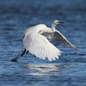 Little egret. Adult taking flight from water. Ahuriri estuary, Napier, May 2015. Image © Adam Clarke by Adam Clarke