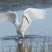 Little egret. Adult foraging. Manawatu Estuary, June 2018. Image © Imogen Warren by Imogen Warren