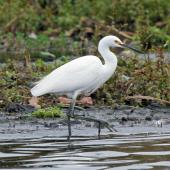 Little egret. Adult fishing in lake. Lake Horowhenua, July 2013. Image © Duncan Watson by Duncan Watson
