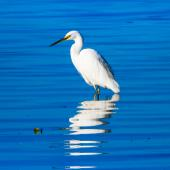 Little egret. Adult. Rangaunu Harbour, August 2018. Image © Les Feasey by Les Feasey