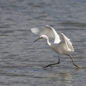 Little egret. Adult hunting. Western Treatment Plant, Werribee, Victoria, Australia, November 2008. Image © Sonja Ross by Sonja Ross