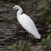 Little egret. Adult. Waikanae Beach lagoon, March 2006. Image © Roger Smith by Roger Smith