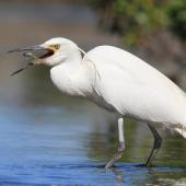 Little egret. Adult swallowing small fish. Haumoana Lagoon, Hawke's Bay, November 2011. Image © Adam Clarke by Adam Clarke