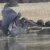 Reef heron. Adult foraging. Manukau Harbour, September 2015. Image © Bruce Buckman by Bruce Buckman https://www.flickr.com/photos/brunonz/