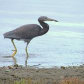 Reef heron. Juvenile. Tawharanui Regional Park, March 2016. Image © Oscar Thomas by Oscar Thomas https://www.flickr.com/photos/kokakola11/
