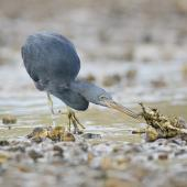 Reef heron. Adult stalking prey. Port Charles, Coromandel Peninsula, May 2009. Image © Neil Fitzgerald by Neil Fitzgerald www.neilfitzgeraldphoto.co.nz