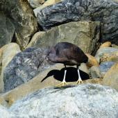 Reef heron. Adult foraging. Kaikoura coast, September 2011. Image © Joke Baars by Joke Baars
