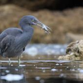 Reef heron. Juvenile with small fish. Westshore, Napier, November 2016. Image © Adam Clarke by Adam Clarke
