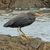 Reef heron. Adult on rocks. Green Point, Wellington west coast, November 2016. Image © Duncan Watson by Duncan Watson
