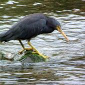 Reef heron. Adult hunting. Owhiro Bay, Wellington, March 2009. Image © Alex Scott by Alex Scott