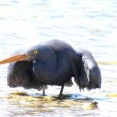 Reef heron. Adult stalking. Waipu estuary, Northland, November 2012. Image © Thomas Musson by Thomas Musson