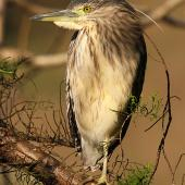 Nankeen night heron. Immature . Wanganui, July 2012. Image © Ormond Torr by Ormond Torr