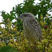 Nankeen night heron. Recently fledged juvenile (note natal down on the head) . Pitangi Stream, Whanganui River, March 2013. Image © Julie Thurlow by Julie Thurlow