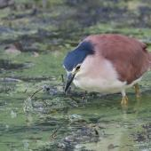 Nankeen night heron. Adult hunting. Melbourne, Victoria, Australia, March 2009. Image © Sonja Ross by Sonja Ross