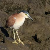 Nankeen night heron. Adult non-breeding. North Haven, near Adelaide, May 2015. Image © John Fennell by John Fennell