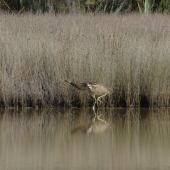 Australasian bittern. Adult feeding at edge of reeds. Okarito Lagoon, April 2014. Image © Eddie van Uden by Eddie van Uden