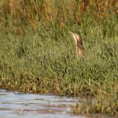 Australasian bittern. Adult in surveillance posture. Waitangi wetland, Hawke's Bay, March 2015. Image © Adam Clarke by Adam Clarke