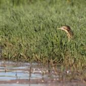 Australasian bittern. Adult foraging. Waitangi wetland, Hawke's Bay, March 2015. Image © Adam Clarke by Adam Clarke