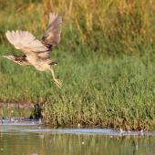 Australasian bittern. Adult taking flight. Waitangi wetland, Napier, March 2015. Image © Adam Clarke by Adam Clarke