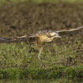 Australasian bittern. Adult landing. Eastern Southland, August 2015. Image © Glenda Rees by Glenda Rees https://www.flickr.com/photos/nzsamphotofanatic/ https://www.facebook.com/NZBANP/