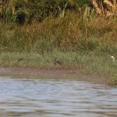 Australasian bittern. Three adults foraging alongside a white-faced heron and a white heron. Waitangi wetland, Hawke's Bay, March 2015. Image © Adam Clarke by Adam Clarke