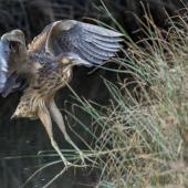 Australasian bittern. Adult bird landing. Foxton Beach, April 2017. Image © imogenwarrenphotography.net by Imogen Warren