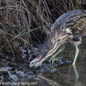Australasian bittern. Adult looking for food. Foxton Beach, April 2017. Image © imogenwarrenphotography.net by Imogen Warren