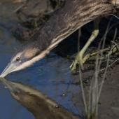 Australasian bittern. Adult feeding. Foxton Beach, April 2017. Image © imogenwarrenphotography.net by Imogen Warren