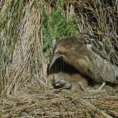 Australasian bittern. Adult at nest with chicks. . Image © Department of Conservation (image ref: 10028777) by Mike Soper, Department of Conservation Courtesy of Department of Conservation