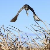 Australasian bittern. Bird taking off. Tokaanu, July 2012. Image © Phil Battley by Phil Battley