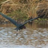 Glossy ibis. Adult taking flight. Travis Wetland, Christchurch, August 2014. Image © Donald Searles by Donald Searles